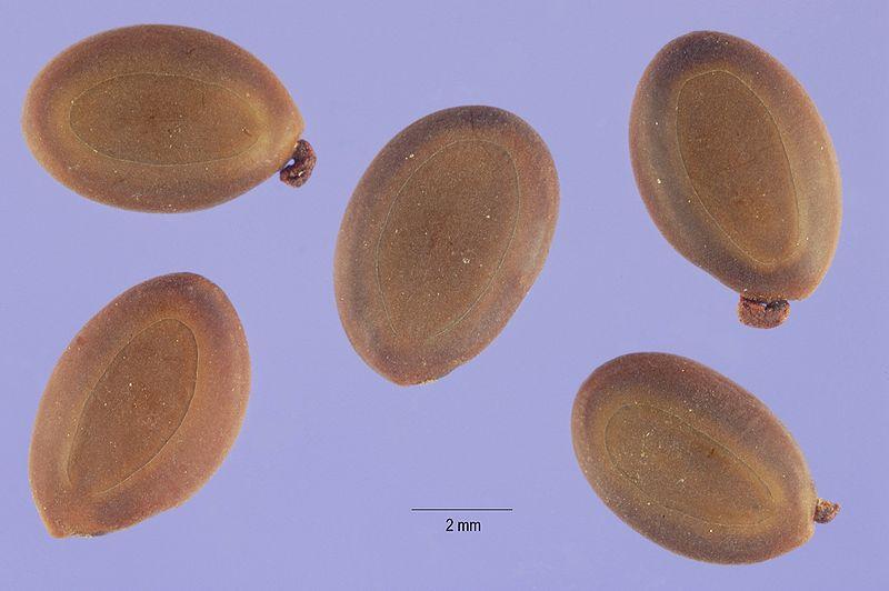 800px-Acacia_confusa_seeds