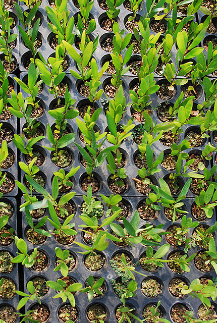 Acacia confusa 4 month old seedlings