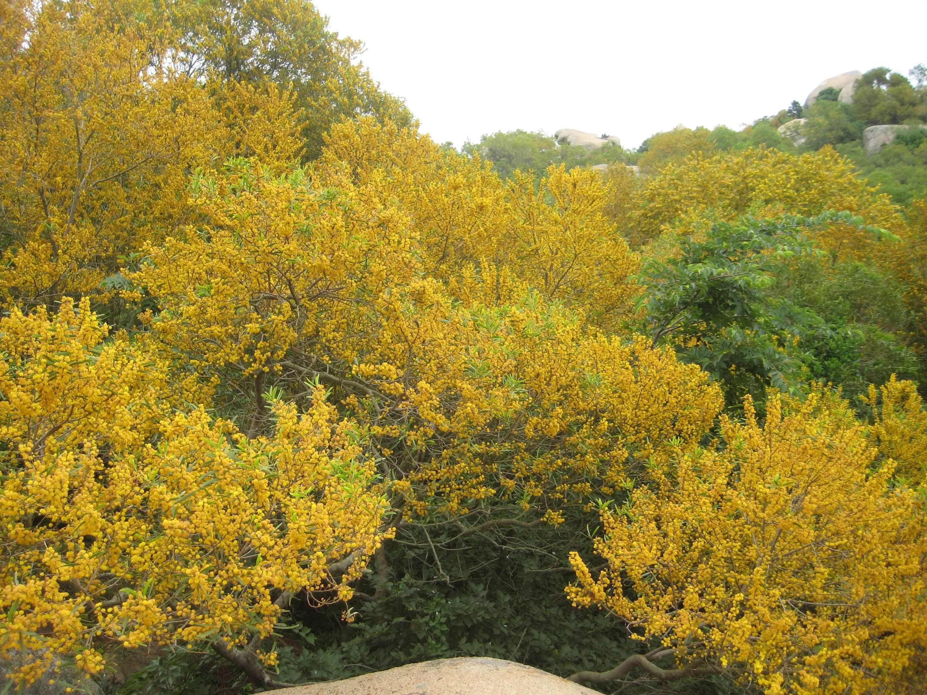Acacia confusa flowering tree tops