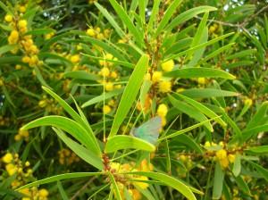 Acacia confusa - Flowering branch close-up