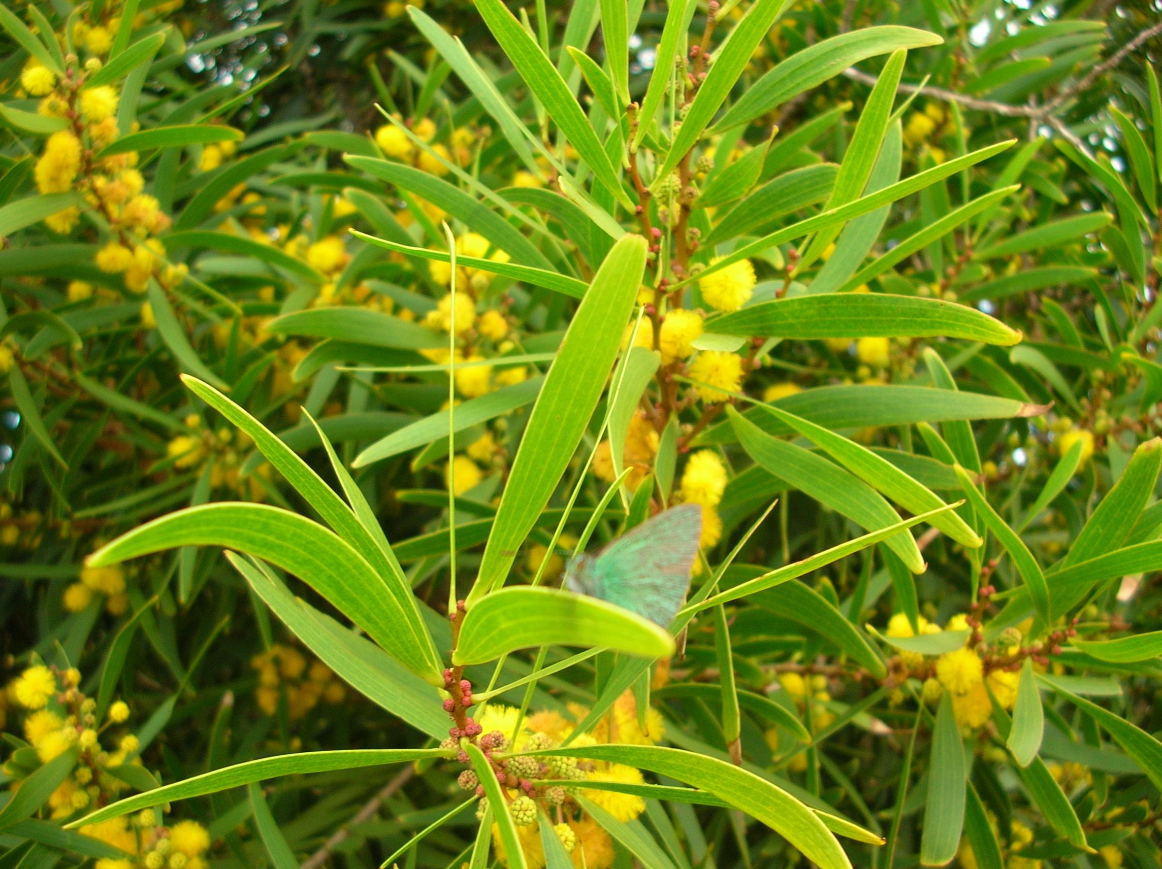 Acacia confusa flowering tree branch