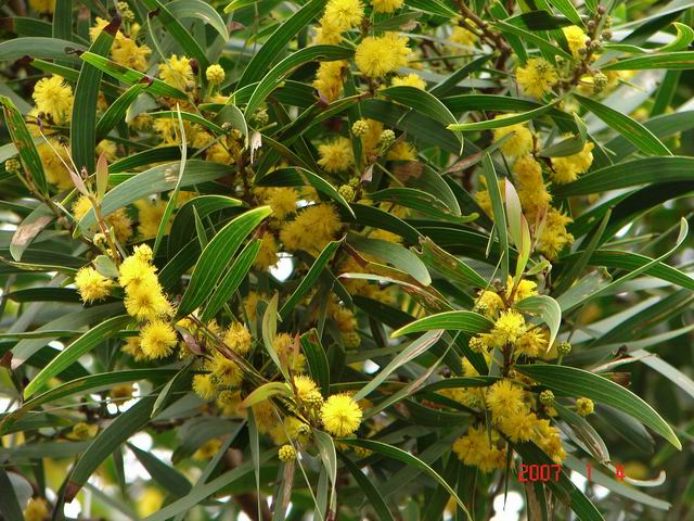 Acacia confusa flowering tree branch