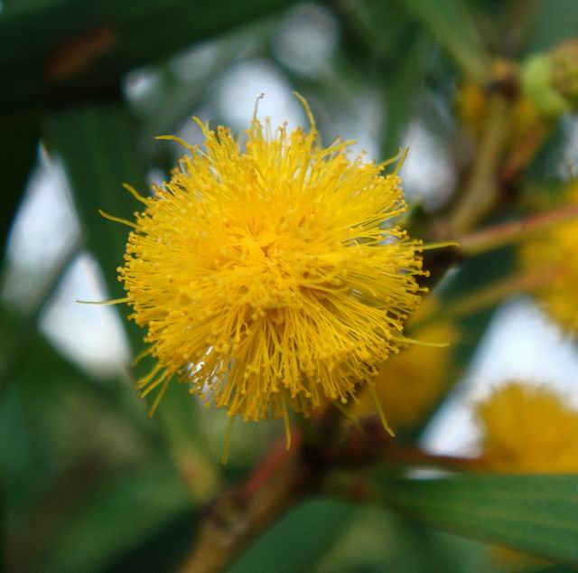 Acacia confusa open flower close-up