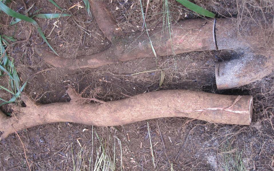 Acacia confusa root bark harvest – Hawaii 3