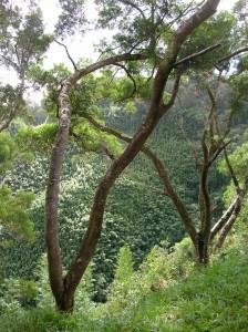 Acacia confusa - Tree