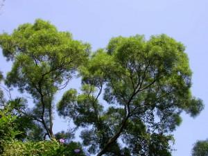 Acacia confusa - tree top