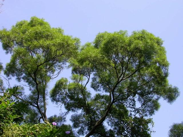 Acacia confusa tree top