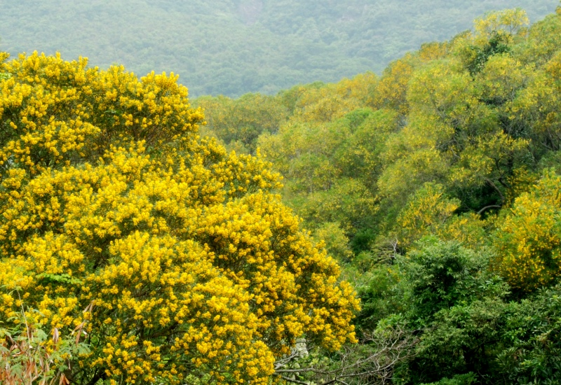 Acacia consufa flowering tree top