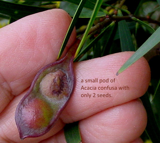 Acacia confusa_a small pod with two seeds_Shenzhen
