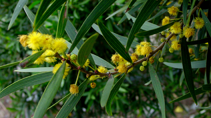 Acacia confusa flowering tree branch close-up