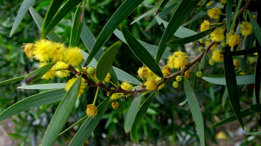 Acacia confusa flowering tree branch close-up