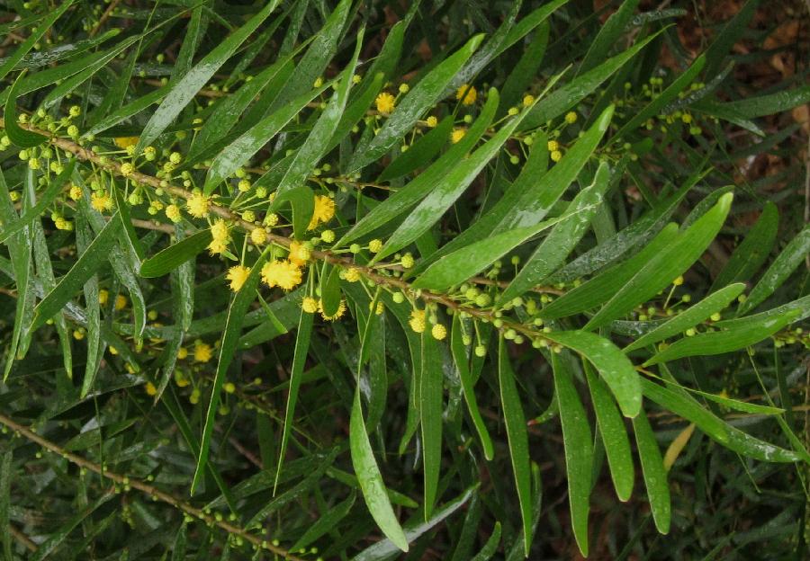 Acacia confusa tree branch