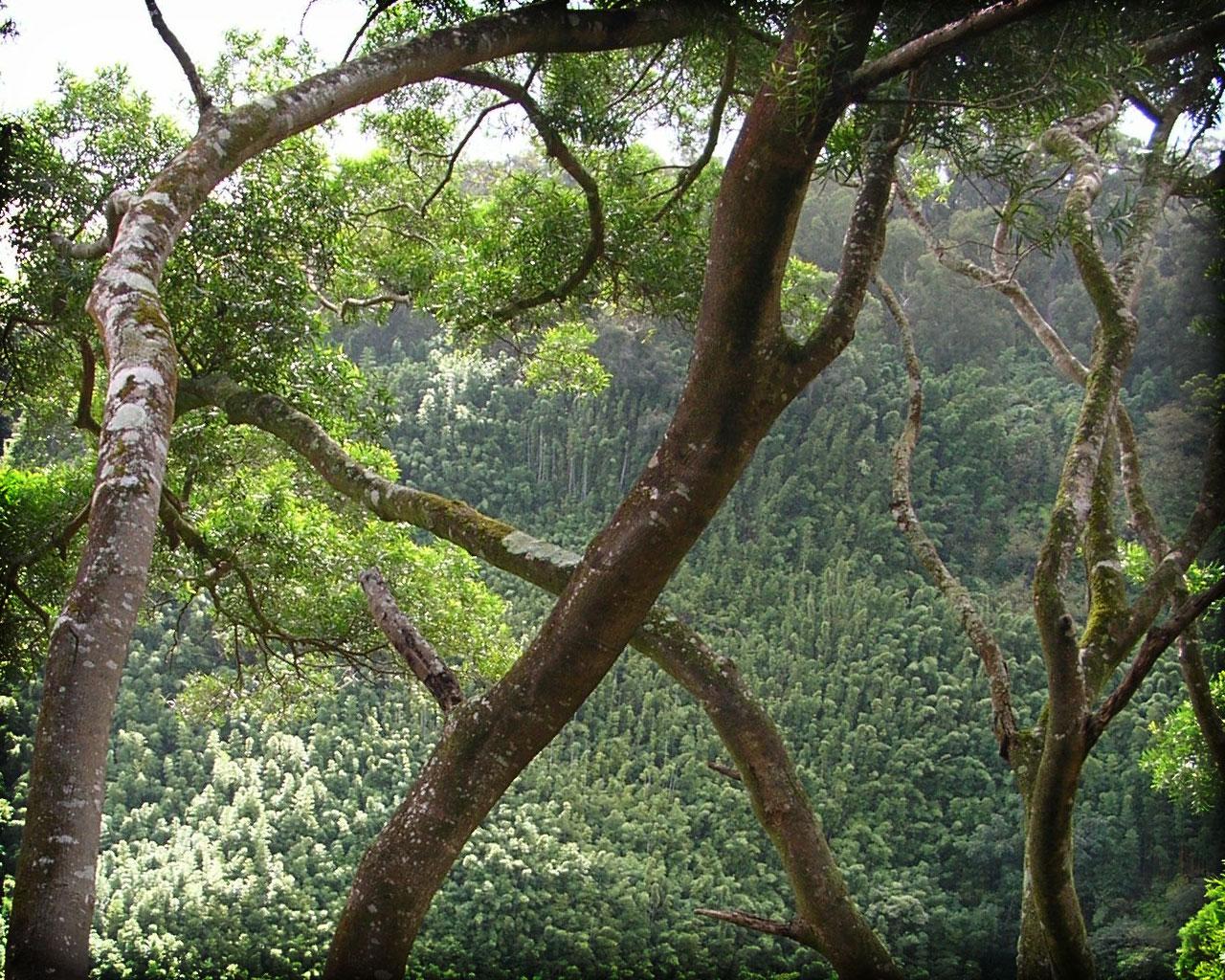 Acacia Confusa In Compare To Mimosa Hostilis Acacia Confusa